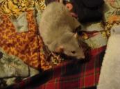 london-rats 103